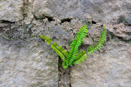 stone wall: Green leaf growing in a stone wall