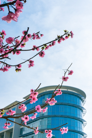 Pink Peach blossom and blue building
