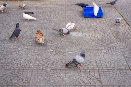 suave: Group of pigeons