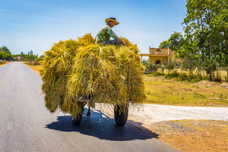 The man riding cow vehicle with full straw in road Editorial