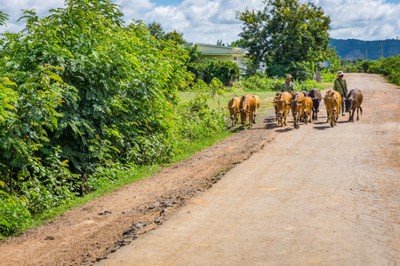 Men and the cows herd Editorial