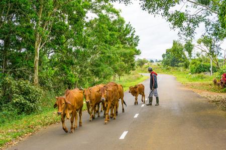 El hombre y el rebaño de vacas