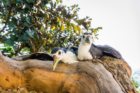 Two White amaurornis phoenicurus birds