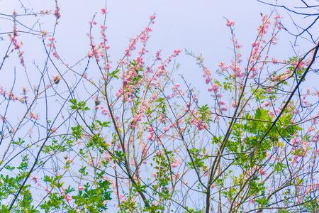 The cherry tree blossom