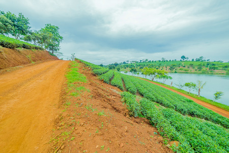 Red road beside tea plant Stock Photo
