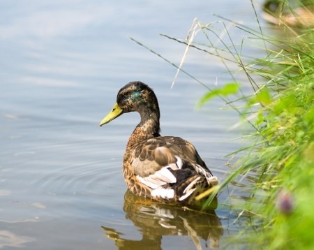 anas platyrhynchos: Mallard Ducks (Anas platyrhynchos) relaxing in pond Stock Photo