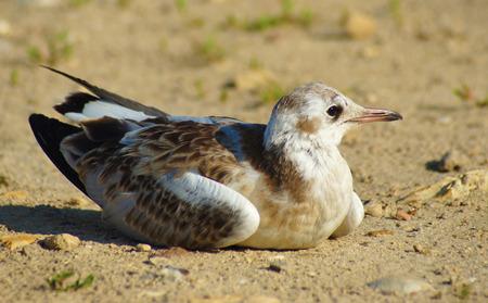 Little Gull photo