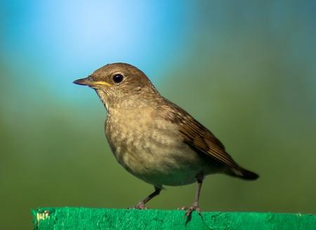 Garden Warbler photo