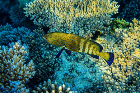 hardcoral: Squaretail coralgrouper near the reef
