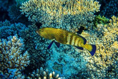 coralgrouper: Squaretail coralgrouper near the reef