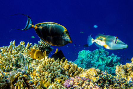 triggerfish: Picasso triggerfish near the reef