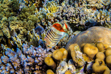 butterflyfish: Eritrean butterflyfish near the reef Stock Photo