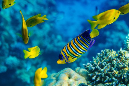 royal angelfish: Royal angelfish near the reef Stock Photo