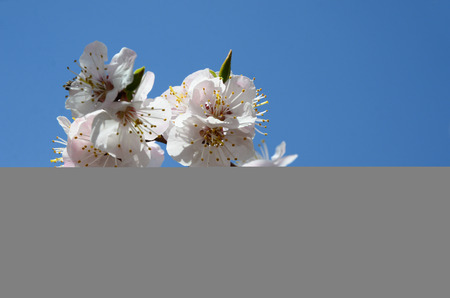 pleasing: Pleasing peach blossoms