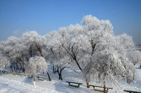 white winter: White tree in the winter Stock Photo
