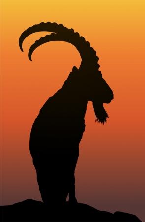 ibex Illustration
