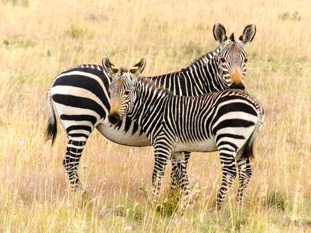 マウンテン ゼブラ国立公園、南アフリカの若者、エクウス ゼブラ ゼブラ岬マウンテン ゼブラ