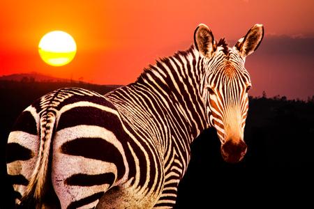 マウンテン ゼブラ国立公園、南アフリカの夕日のエクウス ゼブラ ゼブラ岬ヤマシマウマ