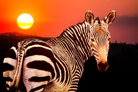 Cape mountain zebra, Equus zebra zebra, at sunset in Mountain zebra National Park, South Africa