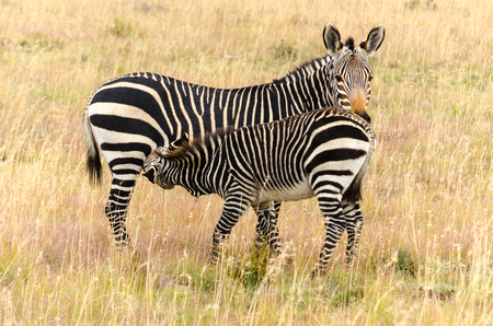 マウンテン ゼブラ国立公園、南アフリカ共和国の子供を授乳女性、エクウス ・ ゼブラ ・ ゼブラ岬マウンテン ゼブラ
