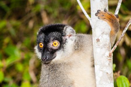 일반적인 갈색 여우 원숭이, Andasibe Mantadia 국립 공원, 마다가스카르에서 Eulemur fulvus의 초상화 스톡 콘텐츠