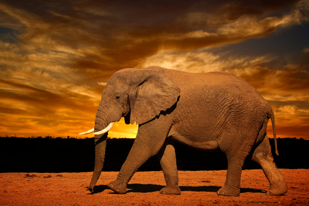 Single African elephant with tusk (Loxodonta africana), running in late afternoon in Addo Elephant National Park, South Africa Stock Photo