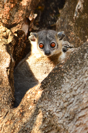 a nocturne: White footed sportive lemur, Lepilemur leucopus, resting in its daily tree hole in Berenty private reserve, Madagascar