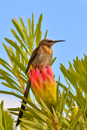 Cape sugarbird (Promerops cafer) perching on a flower of protea in South Africa 写真素材