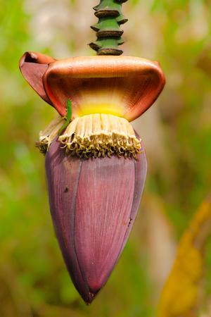 Banana flower with a green gecko, phelsuma lineata, on it 写真素材