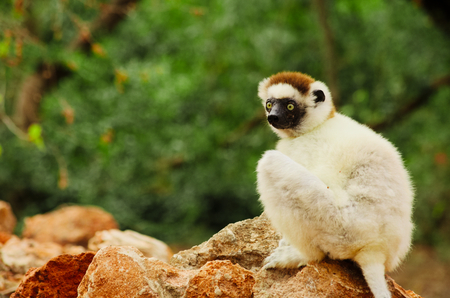 Verreauxs sifaka, Propithecus verreauxi, sitting at the forest edge in Berenty Private Reserve