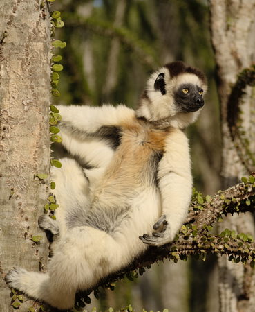 Verreauxs sifaka, Propithecus verreauxi, sitting on a a branch of spiny octopus tree in Berenty Private Reserve Stock Photo