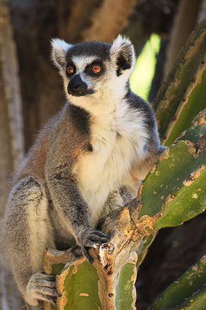 Ring-tailed lemur, Lemur catta, resting in Berenty Private Reserve, Madagascar