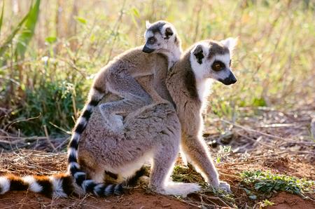 母と幼児ワオキツネザル、Berenty プライベート リザーブ、マダガスカルでの Lemur catta 写真素材
