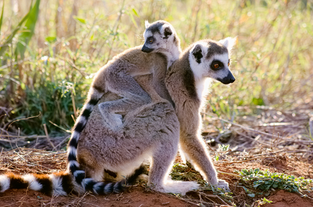 Mother and infant ring-tailed lemur, Lemur catta, in Berenty Private Reserve, Madagascar
