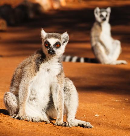 Ring-tailed lemur, Lemur catta, sunbathing in the early morning in Berenty Private Reserve, Madagascar
