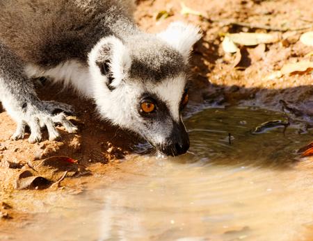 Ring-tailed lemur, Lemur catta, drinking in Berenty Private Reserve, Madagascar Stock Photo