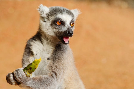 Ring-tailed lemur, Lemur catta, feeding in Berenty Private Reserve, Madagascar Stock Photo