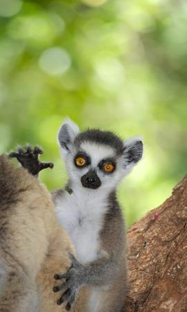 A curious juvenile ring-tailed lemur, Lemur catta, in Berenty Private Reserve, Madagascar