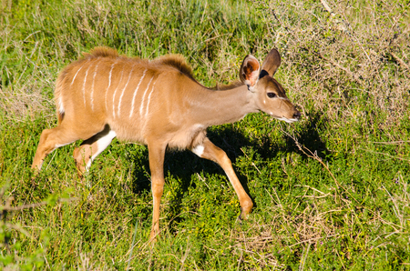 Female Greater kudu, Tragelaphus strepsiceros, in Addo Elephant National Park, South Africa