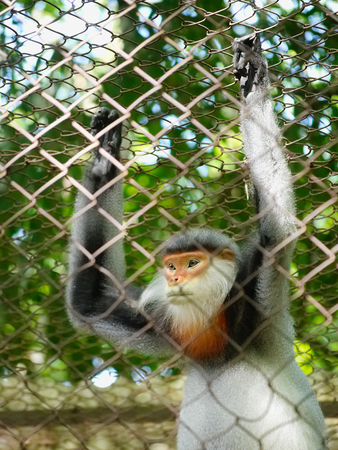 Captive red-shanked douc langur (Pygathrix nemaeus) in a cage of mesh wire at the endangered primate rescue center in Cuc Phong, Vietnam Stock Photo