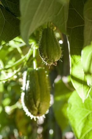 Frutos de Christophine o chayote, nombre científico Sechium edule Foto de archivo - 90250876