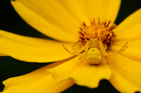 Camouflaged crab spider hiding and waiting for prey on yellow daisy flower