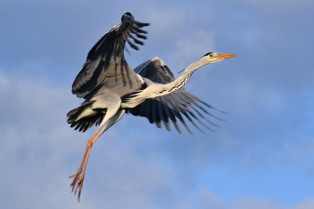 gray herons: Ardea cinerea, grey heron flying and about to land with open wings and stretched legs