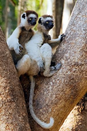 Two Verreauxs Sifaka, Propithecus verreauxi, holding each other shoulder like best friend