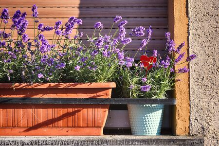 Flower pots with lavender in flower and a red heart on a windowsill