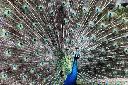 showoff: Peacock with beautiful and colourful feathers.