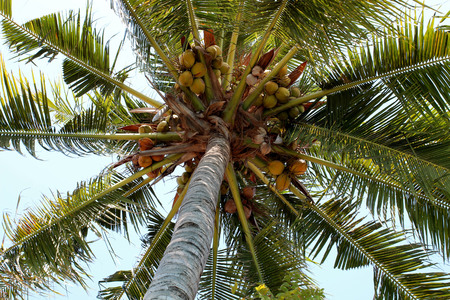 Young coconuts on the tree. photo