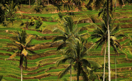 tegalalang: Rice terraces, Bali - Indonesia. Rice terraces north of Ubud. View from Tegalalang.
