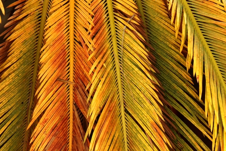 cycas: Colored palm leaves - natural background - cycas colorful leaves.