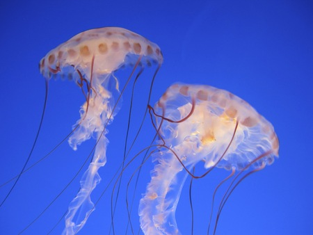 Jellyfish danse photo